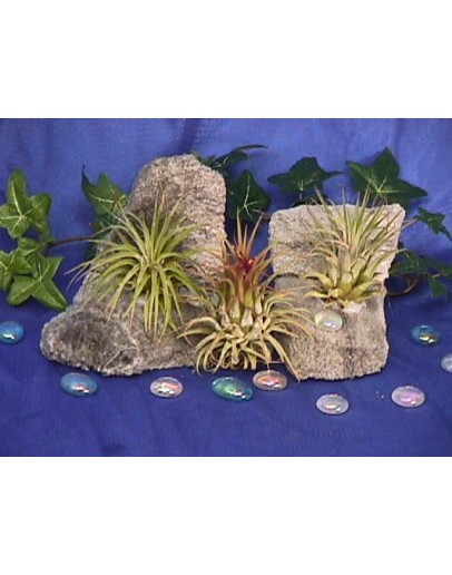 AIRPLANTS (3 PLANTS)
